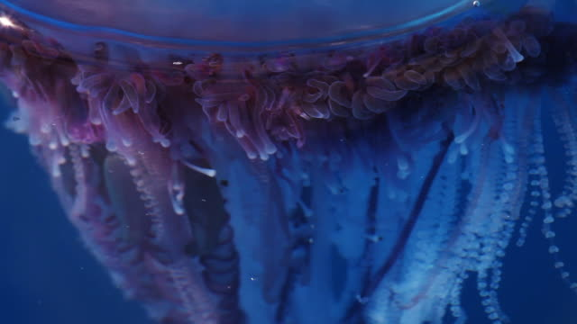 stockvideo's en b-roll-footage met extreme close up, jellyfish in sargasso sea - infaden