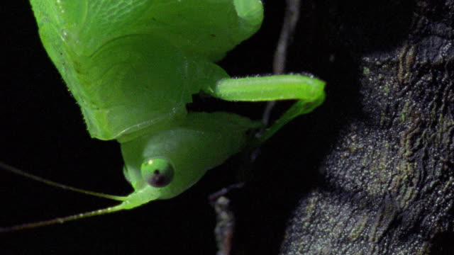 extreme close up katydid cleaning head with legs / tambopata, peru - tambopata stock videos and b-roll footage