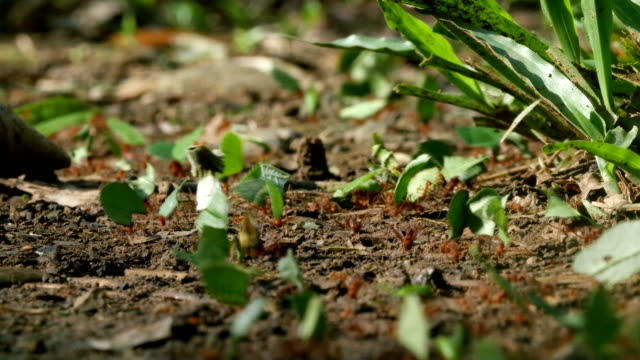 extreme close up leaf cutter ants carrying leaves in rain forest - ameise stock-videos und b-roll-filmmaterial
