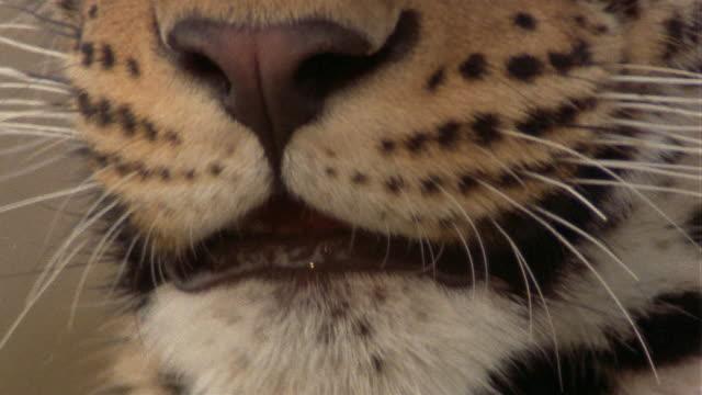 Extreme close up leopard licking chops / tilt up leopard's eye / Africa
