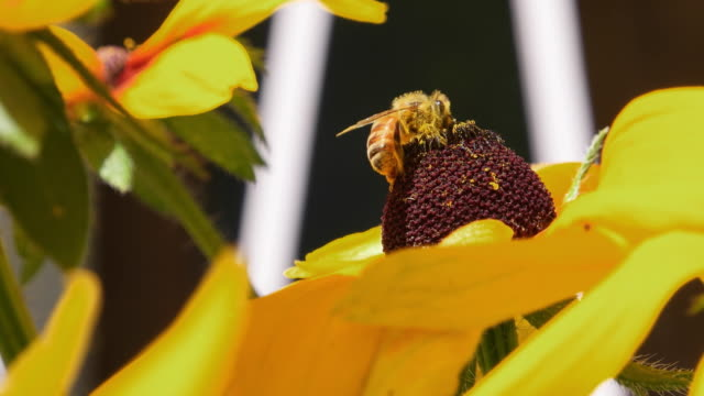 Extreme close up of a Bee pollinating a Sunflower
