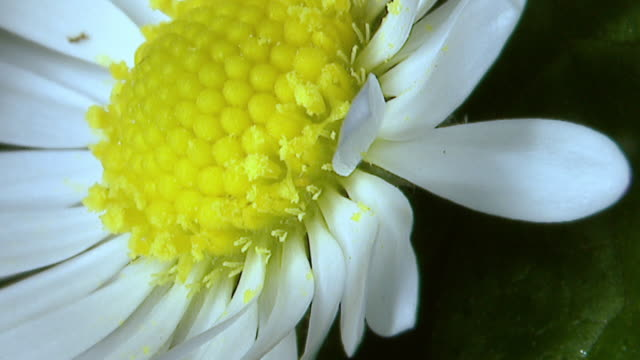 Extreme close up of a daisy flower; zoom in to see small yellow insect