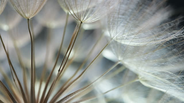 extreme close up of a dandelion - dandelion stock videos & royalty-free footage