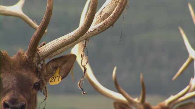 extreme close up of a deer's left antler, then pan right to the face of another deer. - antler stock videos & royalty-free footage