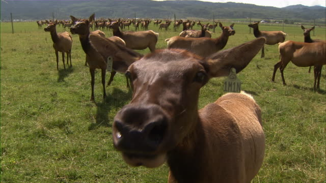 extreme close up of a doe's face as it sniffs at the camera. - livestock tag stock videos and b-roll footage