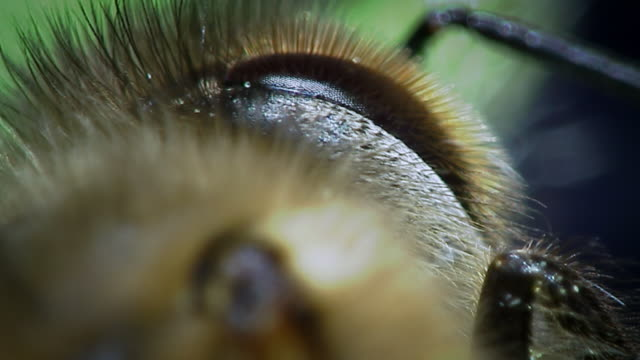 Extreme close up of a honey bee