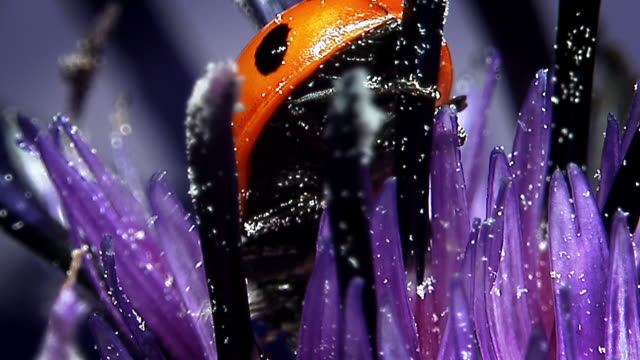 Extreme close up of a ladybird climbing on a purple flower