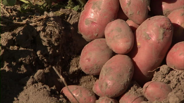 Extreme close up of a pile of potatoes in a field.