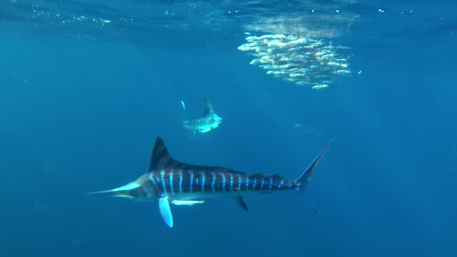 Extreme close up of a school of striped marlin feeding on a sardine bait ball that they have trapped against the water's surface, Pacific Ocean, Magdalena Bay area, Baja California, Mexico.