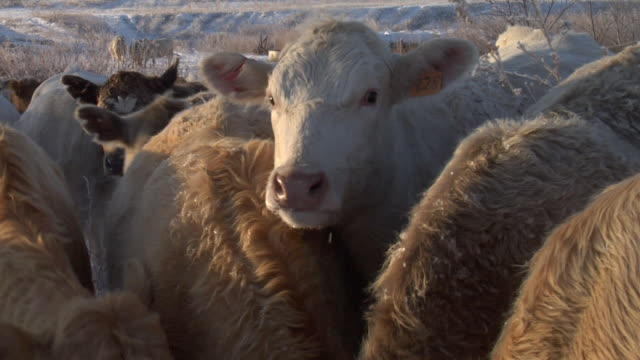 extreme close up of a stock cow with an identification tag and snow on it's nose. - bovino video stock e b–roll