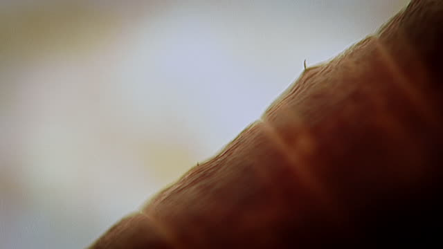 Extreme close up of an earthworm moving showing claw-like bristles (setae)