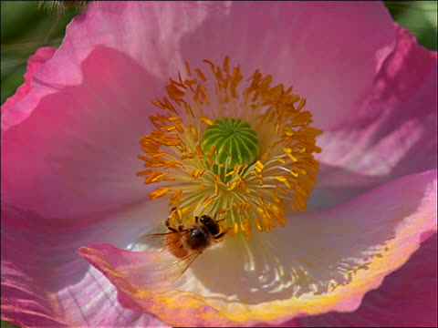 vidéos et rushes de extreme close up of bee on pink and white flower - étamine
