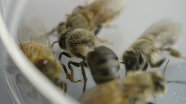 vídeos y material grabado en eventos de stock de extreme close up of bees drinking - cinco animales