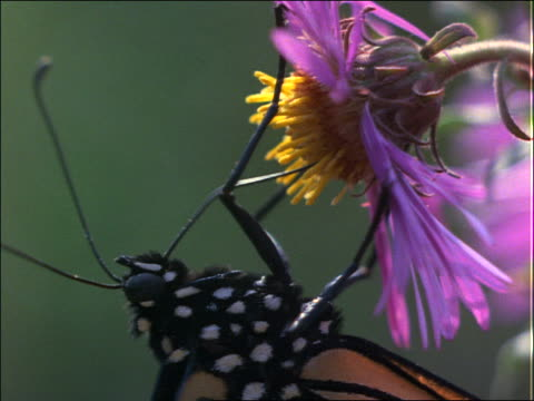 stockvideo's en b-roll-footage met extreme close up of butterfly poking antenna into pistil of flowers - neus van een dier