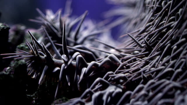 Extreme close up of Crown of Thorns starfish in captivity