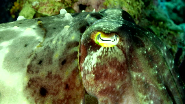 extreme close up of cuttlefish eye - cuttlefish stock videos & royalty-free footage