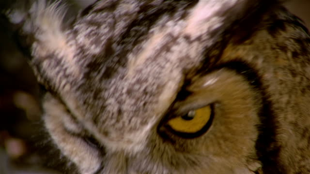 vidéos et rushes de extreme close up of great horned owl [bubo virginianus] looking down / looking up at camera / snake river birds of prey national conservation area, idaho - partie du corps d'un animal