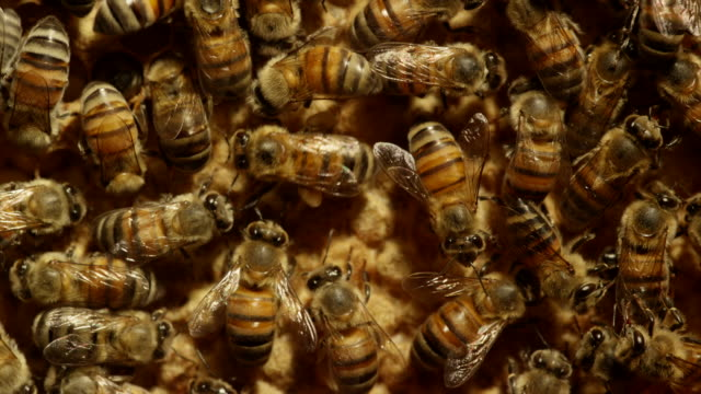 extreme close up of honeybees - tiergruppe stock-videos und b-roll-filmmaterial