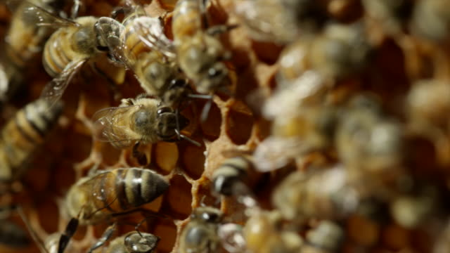 extreme close up of honeybees - zoology stock videos & royalty-free footage