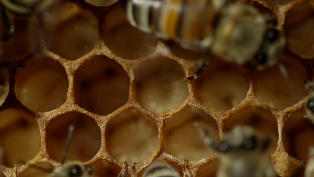 stockvideo's en b-roll-footage met extreme close up of honeybees - dierenhaar