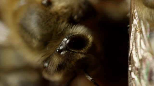 Extreme Close Up of Honeybees