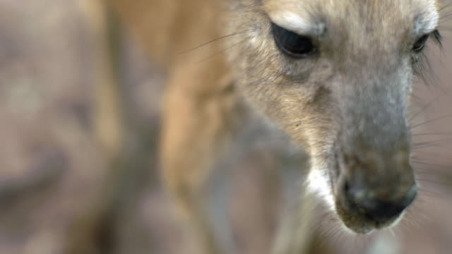 extreme close up of red kangaroo joey eating leaves - captive animals stock videos & royalty-free footage