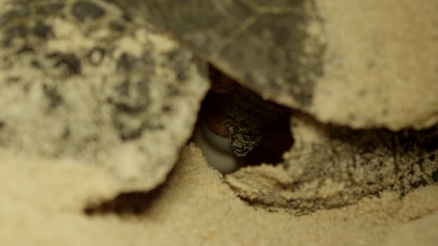 extreme close up of sea turtle laying eggs in nest - green turtle stock videos & royalty-free footage