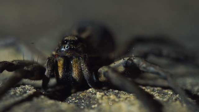 extreme close up of spider with shifting lighting in background - animal abdomen stock videos and b-roll footage