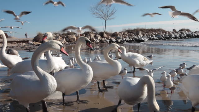 extreme close up of swans and seagulls on a beach in a winter day - bulgarien stock-videos und b-roll-filmmaterial