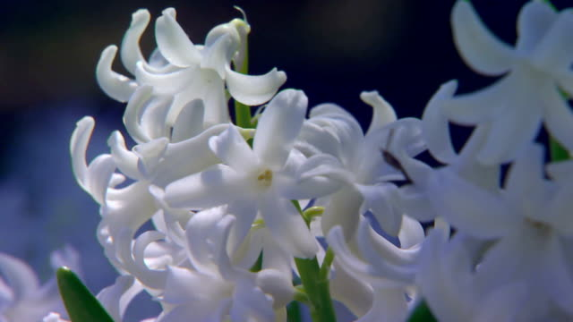 extreme close up of top of white hyacinth - hyacinth stock videos & royalty-free footage