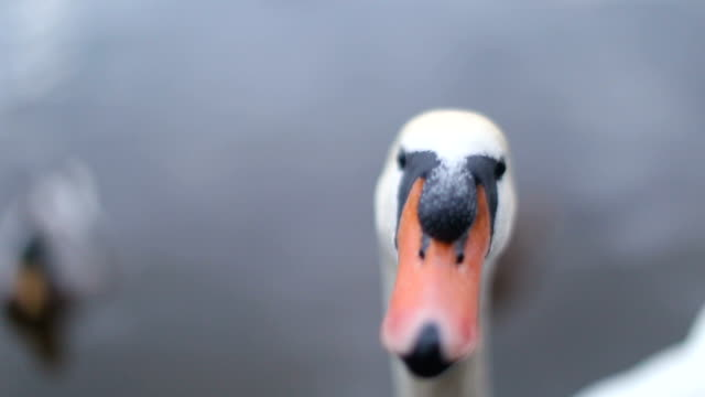 Extreme Close up of white Swan
