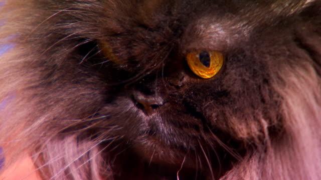 extreme close up on a black persian cats face - 黒猫点の映像素材/bロール