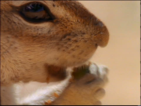 extreme close up PROFILE mouth of African ground squirrel eating yellow poppy / Africa
