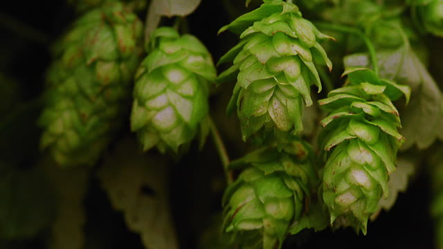 extreme close up pan rack focus hops / germany - hops crop stock videos and b-roll footage