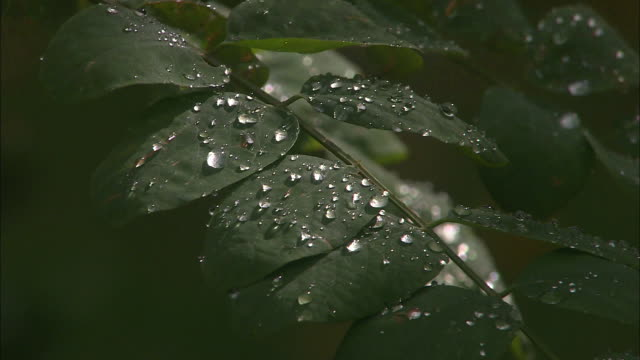 extreme close up rain or dew drops sit on leaves of shrub / close up leaf sits above bird bath - dew stock videos & royalty-free footage