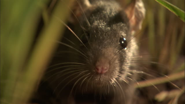 stockvideo's en b-roll-footage met extreme close up - rat sniffing its environment / bangladesh - rat