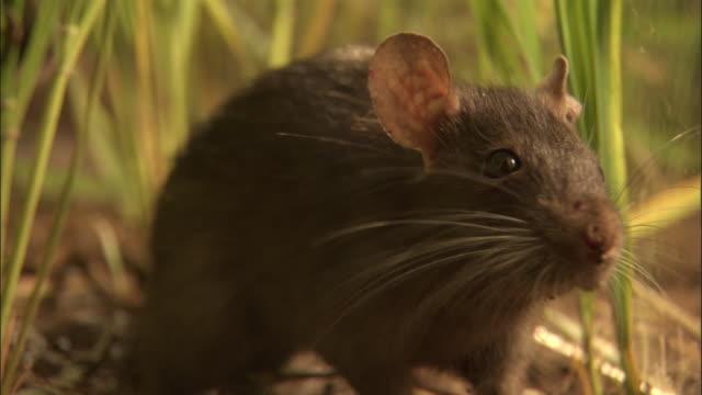 extreme close up - rat sniffing its environment / bangladesh - rat stock videos & royalty-free footage