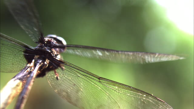 extreme close up rear angle slow motion - dragonfly clings to instrument, wings beating / costa rica - dragonfly stock videos & royalty-free footage