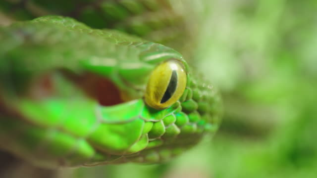 slo mo extreme close up shot of a green snake climbing on a branch - animal eye stock videos & royalty-free footage