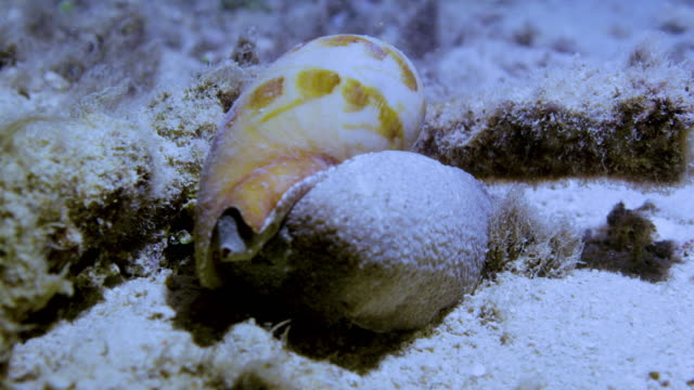 extreme close up shot of mollusk on rock - snail stock videos & royalty-free footage