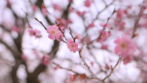 extreme close up shot of plum blossom flowers in ibaraki kairakuen garden: numerous translucent pink petals overlapping each other; racking focus... - translucent stock videos & royalty-free footage