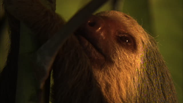 Extreme close up; sloth face