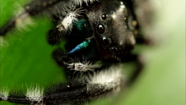 extreme close up slow motion - jumping spider on green leaf / costa rica - extreme close up stock videos and b-roll footage