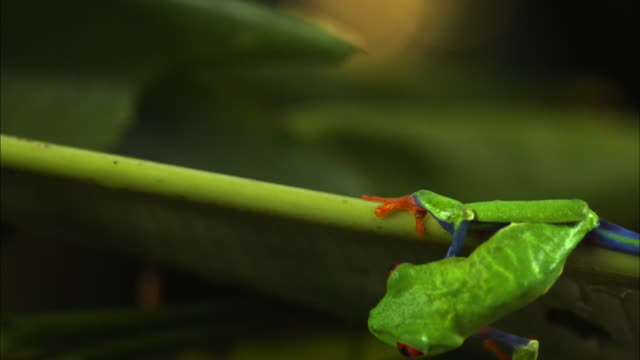 Extreme close up, slow motion; Red-eyed tree frog clings to leaf