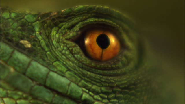 extreme close up slow motion - scaly skin and eye of basilisk lizard, eye blinks showing third eyelid and membrane / costa rica - eyelid stock videos and b-roll footage