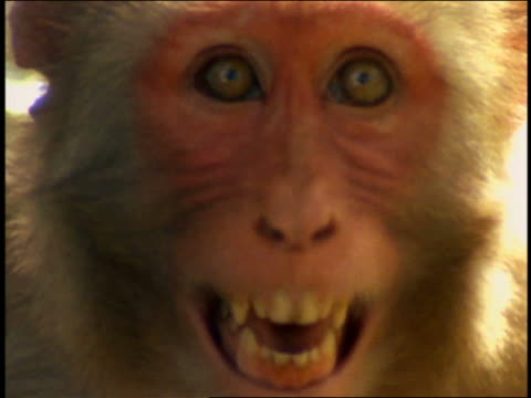 extreme close up small monkey hissing / snarling at camera / Cayo Santiago, Puerto Rico
