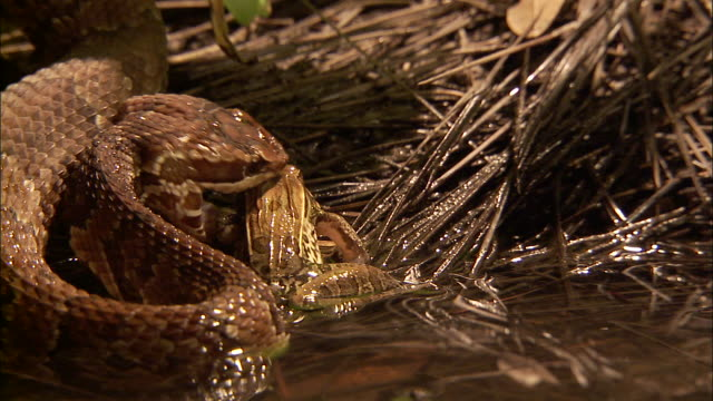 extreme close up - snake mouths at frog briefly before frog jumps away /  - escaping stock videos & royalty-free footage