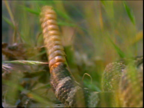 extreme close up tail of rattlesnake ratlling - tail stock videos & royalty-free footage