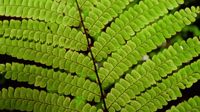 extreme close up tilt up fern leaves with sun shining through them / tambopata, peru - fern stock videos & royalty-free footage