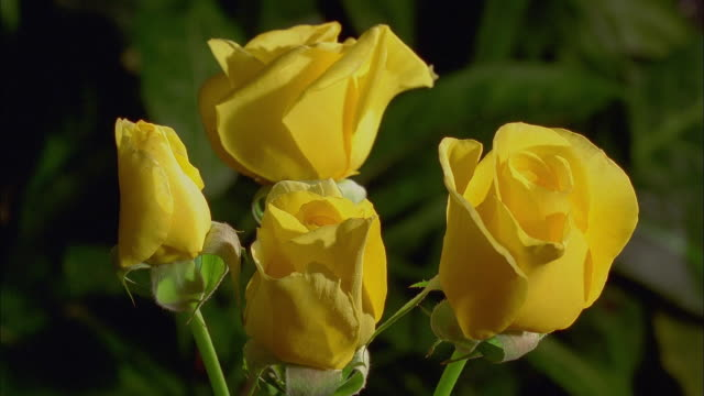 Extreme close up time lapse four yellow roses opening and withering